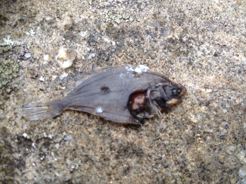 I'm not an Icthyologist, I'm an Icthyologist's son... Please tell me if this is a baby flounder, plaice or sole?
