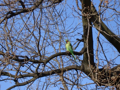 Ring necked parakeets brighten my day whenever I see or hear them!