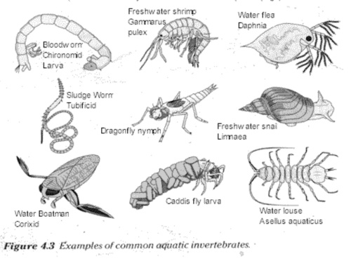 some common freshwater invertebrates, courtesy of  wildpro.twycrosszoo.org