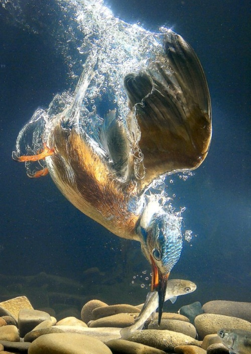 This unbelievable picture is not mine - I found it on Pinterest and cannot track down the original photographer... It demonstrates the dangers faced by all small fish years before they are big enough to reach 'keeper' size
