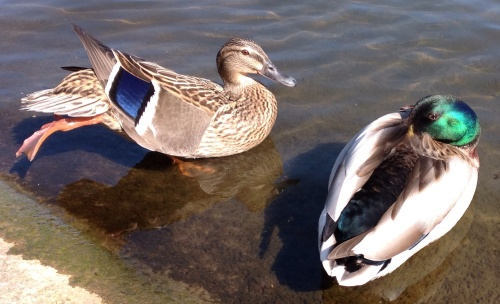 striking a pose... completely at ease with my proximity these two were enjoying Spring in the Serpentine in Hyde Park
