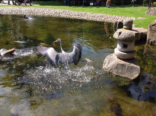 This is a picture of a frustrated, humiliated and very embarrassed heron!