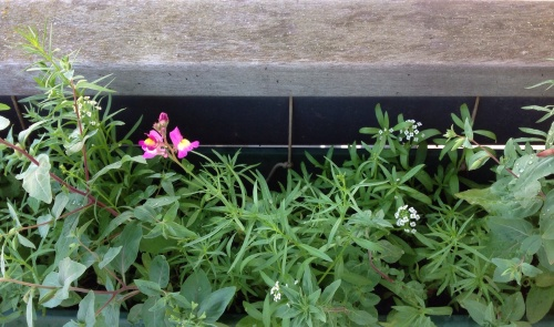 27 July update... Fantastic to see the flowers opening, just in time to help the bees through the late stages of summer and into autumn. Please share your results if you also grew some this year!